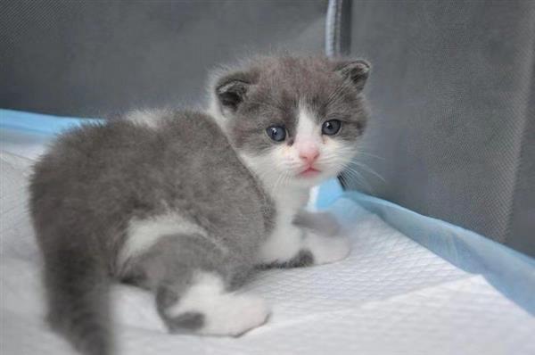 """中国第一只自主培育克隆猫诞生:名字叫""""大蒜"""
