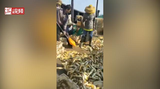 一夜暴富!广东渔民捕获6万斤黄花鱼 价值几百万